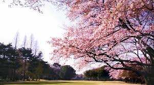「桜 ゴルフ 奇麗」の画像検索結果